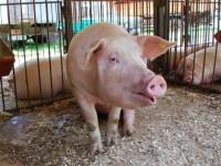 спира вноса на свинско месо от страните на ЕС