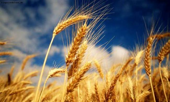 Русия може да изнася 20 милиона тона зърно годишно, независимо от реколтата