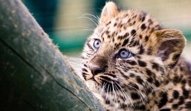 Самка на амурския леопард роди три малки в Талин