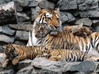 Амурска тигрица в новосибирската зоологическа градина родила тигърчета