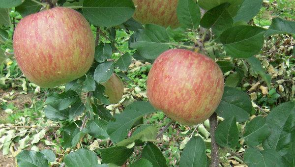 """Полша моли САЩ да купува """"забранените"""" ябълки"""
