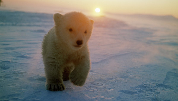 Руски военни спасиха бяло мече в Арктика