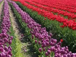 Холандската цветарска компания готова да смени пестицидите, заради руския пазар