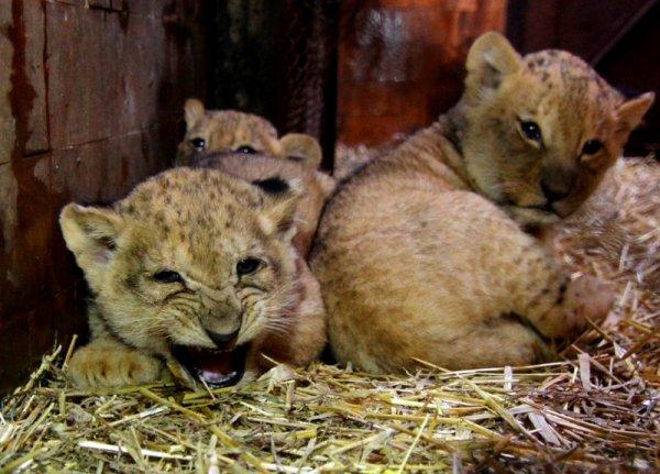 Първият рожден ден на трите лъвчета от зоопарка във Варна
