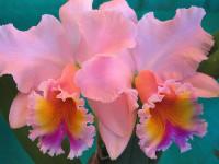 Първото орхидеено общество за България основават във Варна