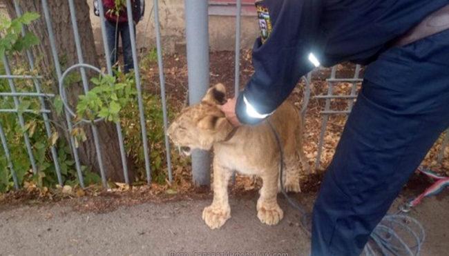 Спасиха беззащитно изгубено лъвче в Русия