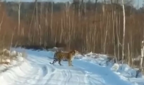 Да срещнеш тигър (Видео)