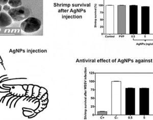 Сибирски учени лекуват мексикански скариди от болест