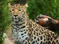 Заснеха редки кадри на любовна игра на изчезващия амурски леопард