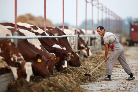 Краварник в Краснодарския край. Снимка: Виталий Тимкив / ТАСС