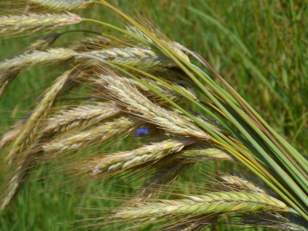 Рекорд при реколтата и износа на пшеница в Русия