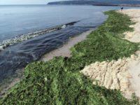 Учени разкриха: Морско водорасло потиска раковите клетки