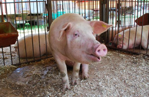 Русия спира вноса на свинско месо от страните на ЕС