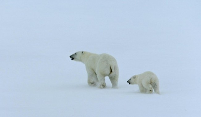 """""""Роснефт"""" ще финансира изучаването на белите мечки в Арктика"""