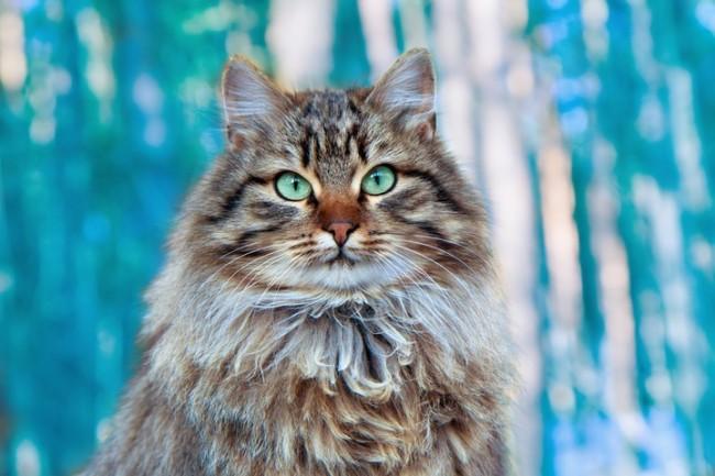 Сибирската котка – царкинята пазител на домашното огнище