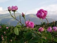 """70 корена български рози """"тръгнаха"""" към Червения площад в Москва"""