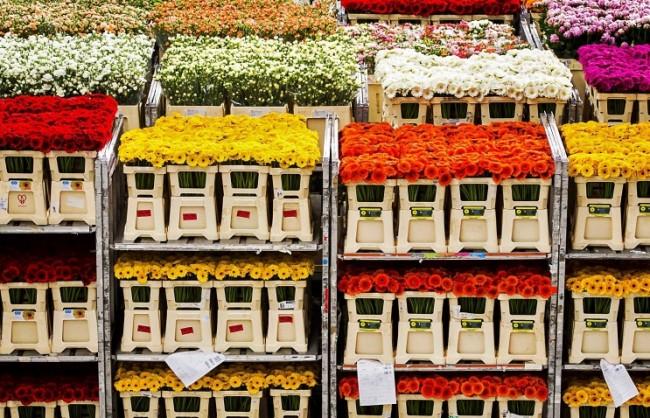 Русия забрани вноса на цветя от Холандия