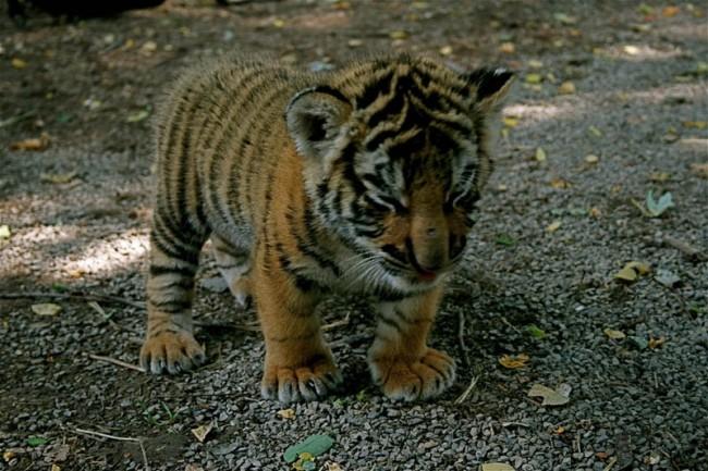 Тигрица в Русия осинови две новородени