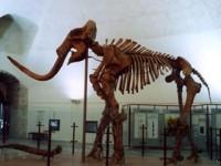 Скелет на предшественика на вълнистия мамут беше открит в Якутия