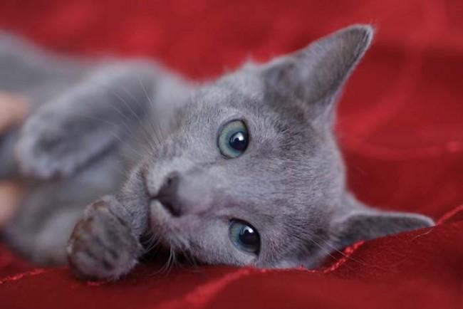 Любопитни факти за руска синя котка