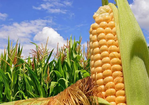 Русия очаква рекордна реколта от царевица тази година