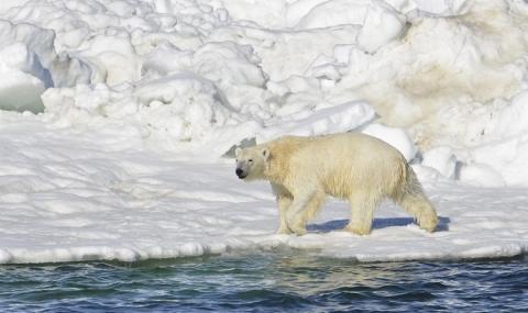 Да живееш в арктическата тундра обграден от … полярни мечки