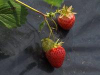Русия може да спре вноса на ягоди още тази година